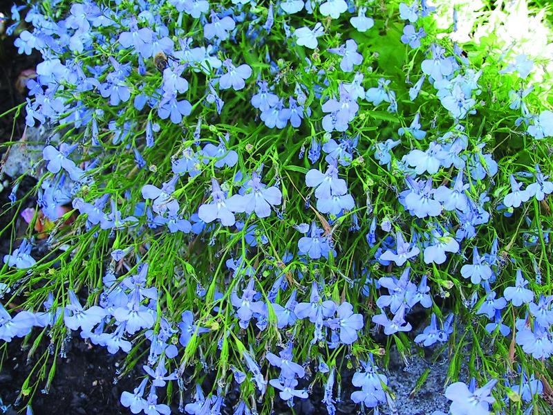Lobelia Trailing Sky Blue Skagit Gardens