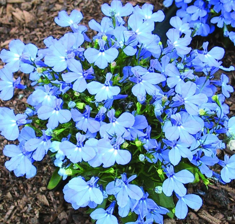 Lobelia Compact Sky Blue Skagit Gardens
