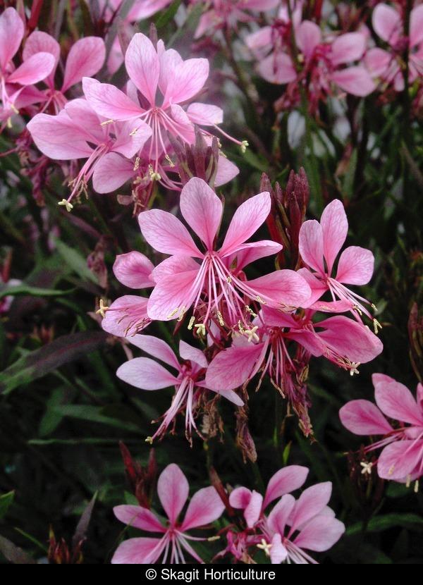 Gaura Pink Cloud Skagit Horticulture
