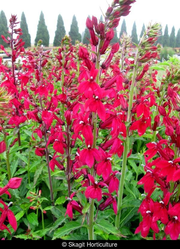 Lobelia Compliment Deep Red Growproteam