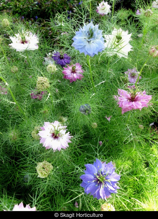 Nigella Persian Jewels Mix - Skagit Gardens