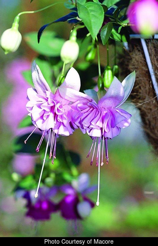 165a3e338c955 Fuchsia Trl Blush o  Dawn - GrowProTeam™