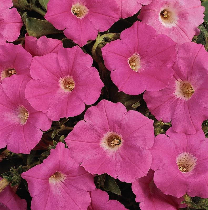 Petunia Sprd Easy Wave Pink Skagit Gardens