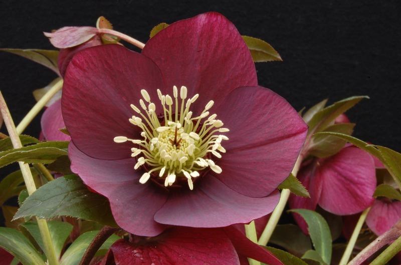 helleborus winter jewels ruby wine skagit gardens. Black Bedroom Furniture Sets. Home Design Ideas